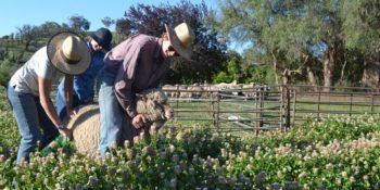 Australie Kickstart Ultimate OZ Ranch schapen scheren