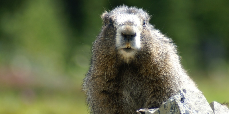 Canada-Wilderness-Volunteer-Program-marmot