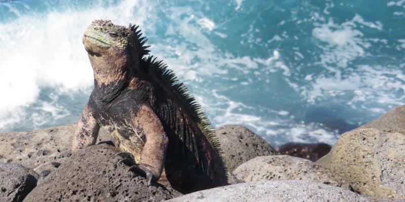Ecuador Galapagos Annesietske leguaan