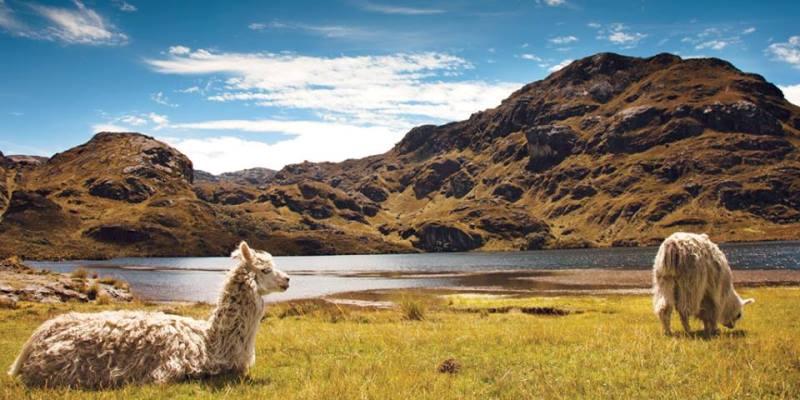 Ecuador vrijwilligerswerk Quito lama's