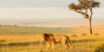 Kenia Wildlife Conservation and Community Counting Lionsjpg