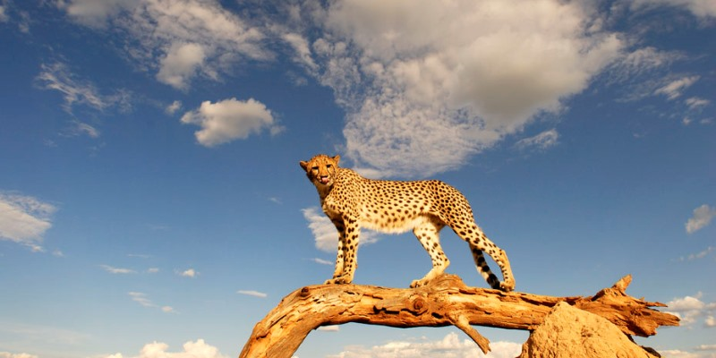 Kenia Wildlife Conservation and Community cheetah