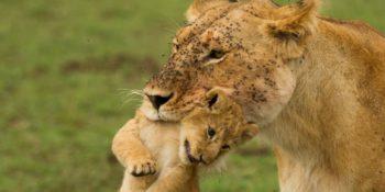 Kenia Wildlife Conservation and Community leeuw met cub