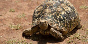 Kenia Wildlife Conservation and Community schildpad