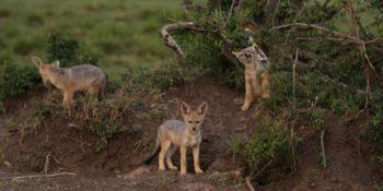 Kenia Wildlife Conservation and Community wilde honden
