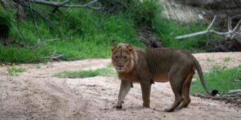 Kruger Fotografieproject leeuw