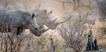Kruger Fotografieproject neushoorns