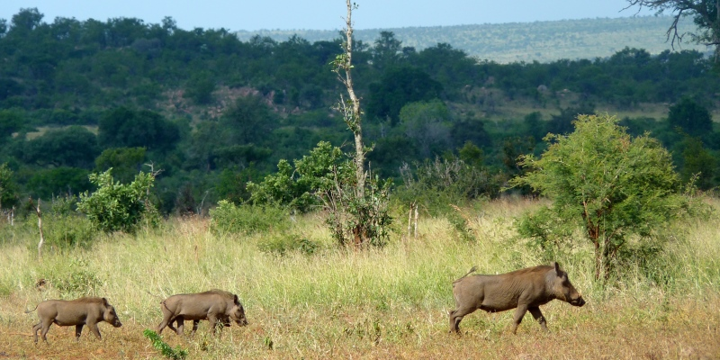 Kruger to Coast Kruger Tour Warthog Family