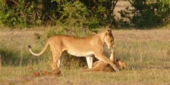 Masai Mara Big Cat Conservation Big Cat monitoring 2