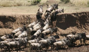 Masai Mara Big Cat Conservation Great Migration 1