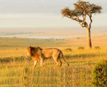 Masai Mara Big Cat project