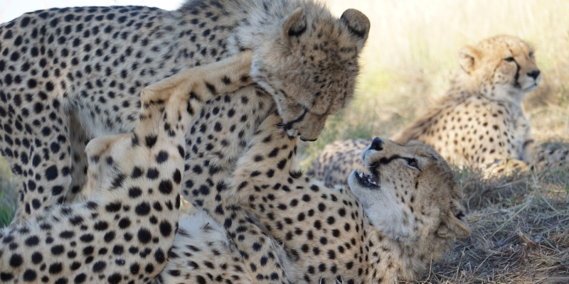 Namibie Wildlife Rehab and Research cheetahs