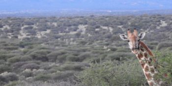 Namibie Wildlife Rehab and Research giraffe