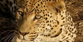 Namibie-Wildlife-Rehab-and-Research-jaguar.