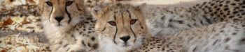 Cheetah Conservation Course