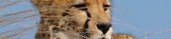 Zuid-Afrika Cheetah Conservation Course