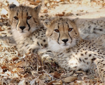 Zuid-Afrika Cheetah and Wildlife Conservation