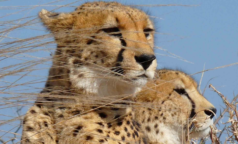 Zuid-Afrika Cheetah and Wildlife Conservation 5