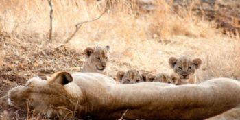 Zuid-Afrika Kruger Research and Conservation moederleeuw met welpjesjpg