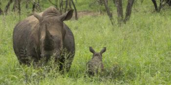 Zuid-Afrika Kruger Research and Conservation neushoorn met kleintje
