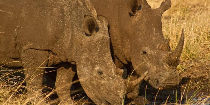 Zuid-Afrika Kruger Research and Conservation neushoorns 2