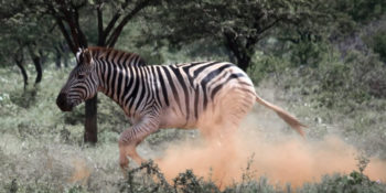 Zuid-Afrika Kruger Research and Conservation zebra