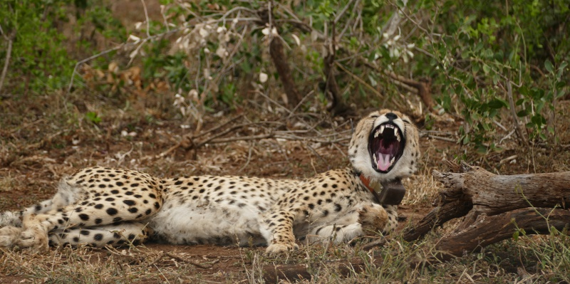 Zuid-Afrika Kwazulu Big 5 reservaten cheetah met halsband