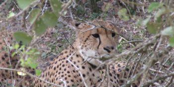 Zuid-Afrika Kwazulu Big 5 reservaten jachtluipaard