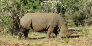 Zuid-Afrika Kwazulu Big 5 reservaten neushoorn