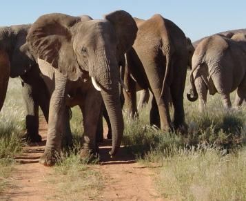 Zuid-Afrika Kwazulu Big 5 reservaten project olifantenZuid-Afrika Kwazulu Big 5 reservaten olifanten