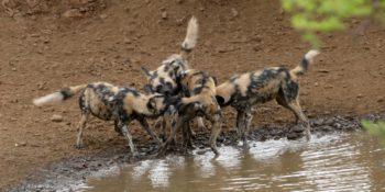 Zuid-Afrika Kwazulu Big 5 reservaten wilde honden 2