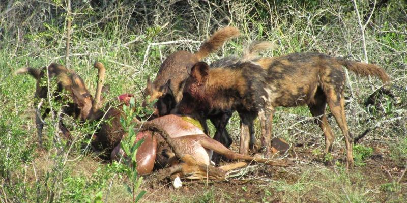 Zuid-Afrika Kwazulu Big 5 reservaten wilde honden