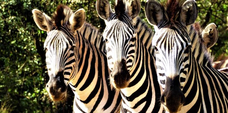 Zuid-Afrika Kwazulu Big 5 reservaten zebras