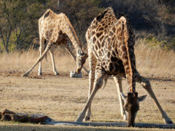 Zuid-Afrika Welgevonden Conservation and Research Carma