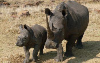 Zuid-Afrika Welgevonden Conservation and Research Rhino met kalfje