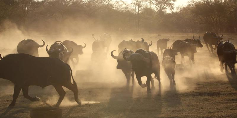 Zuid-Afrika Welgevonden Conservation and Research buffalo run