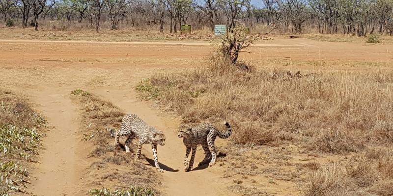Zuid-Afrika Welgevonden Conservation and Research cheetah