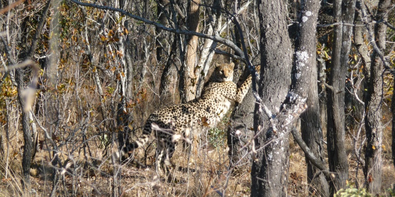 Zuid-Afrika Welgevonden Conservation and Research cheetah 2