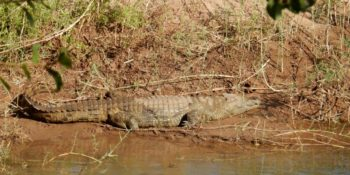 Zuid-Afrika Welgevonden Conservation and Research croc