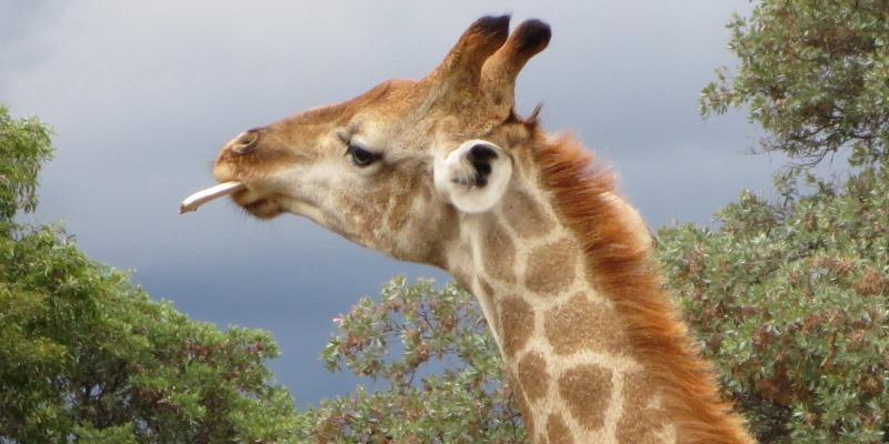 Zuid-Afrika Welgevonden Conservation and Research giraffe