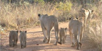 Zuid-Afrika Welgevonden Conservation and Research lions