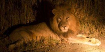 Zuidafrika Wildlife fotografie lion