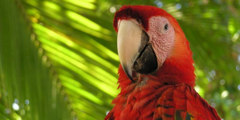 Costa-Rica-papegaai