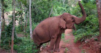 Thailand Olifantenproject olifant
