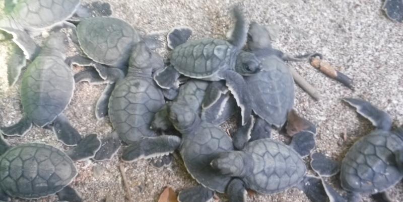 Vrijwilligerswerk Costa Rica zeeschildpadjes