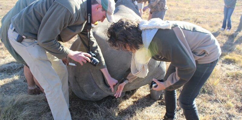 Welgevonden Lisette Meehelpen tijdens de identificatie bij een rhino capture