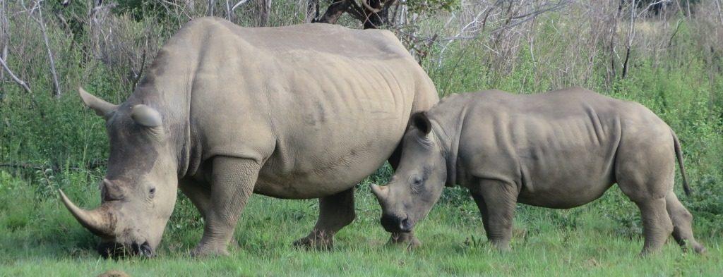 Zuid-Afrika Welgevonden neushoorns