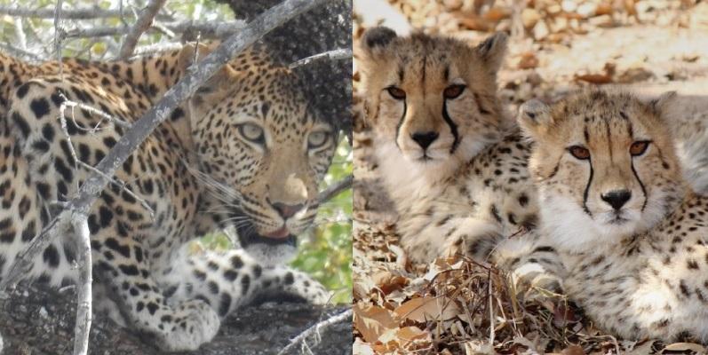 Big 5: Jaguar + cheetah
