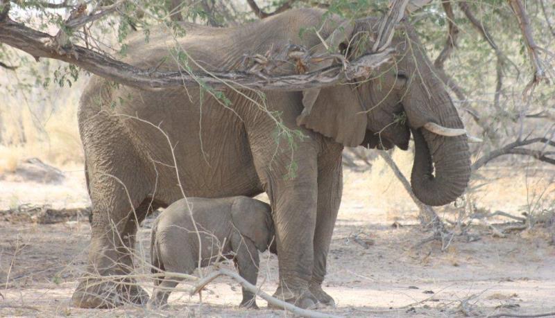 Namibia Expedition Olifantenmoeder met kalfje