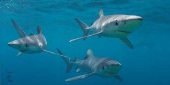 Zuid-Afrika Marine Conservation Gansbaai haaien